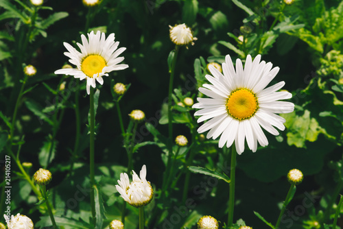 Foto op Canvas Madeliefjes Cute romantic flower of daisy with vivid yellow pollen and long white petals close up. Picturesque leucanthemum vulgare in macro. Pleasant camomile on green background with copy space on greenery.