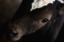 Picture Of A Calf Close-up
