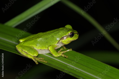 Canvas Print Tree Frog is hunting at night
