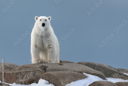 Canvas Prints Polar bear Polar Bear Watching