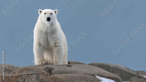 Spoed Fotobehang Ijsbeer Polar Bear in the Wild!