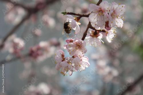 Foto op Plexiglas Magnolia Apricot blossom in may