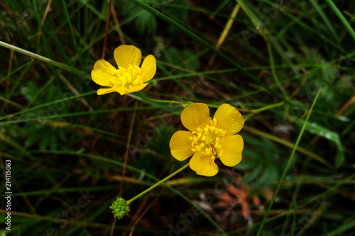 Ranunculus acris - meadow buttercup, tall buttercup, common buttercup, giant but Canvas Print