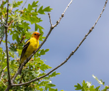 Western Tanager In Tree At Cap...