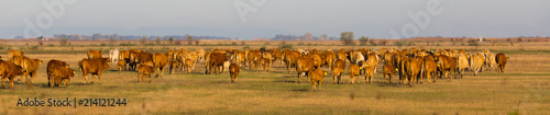 Fotografie, Tablou Image of cows in the steppes in hungarian Hortobagy