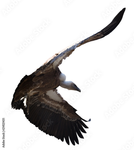 Griffon vulture flying isolated