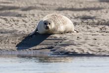 Seals In Baie De Somme