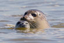 Seals In Baie De Somme