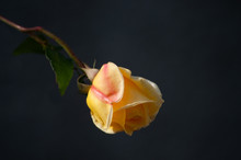 Yellow Rose In Shadow