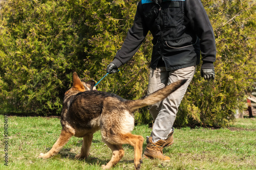 German shepherd puppy training with a ball - Buy this stock