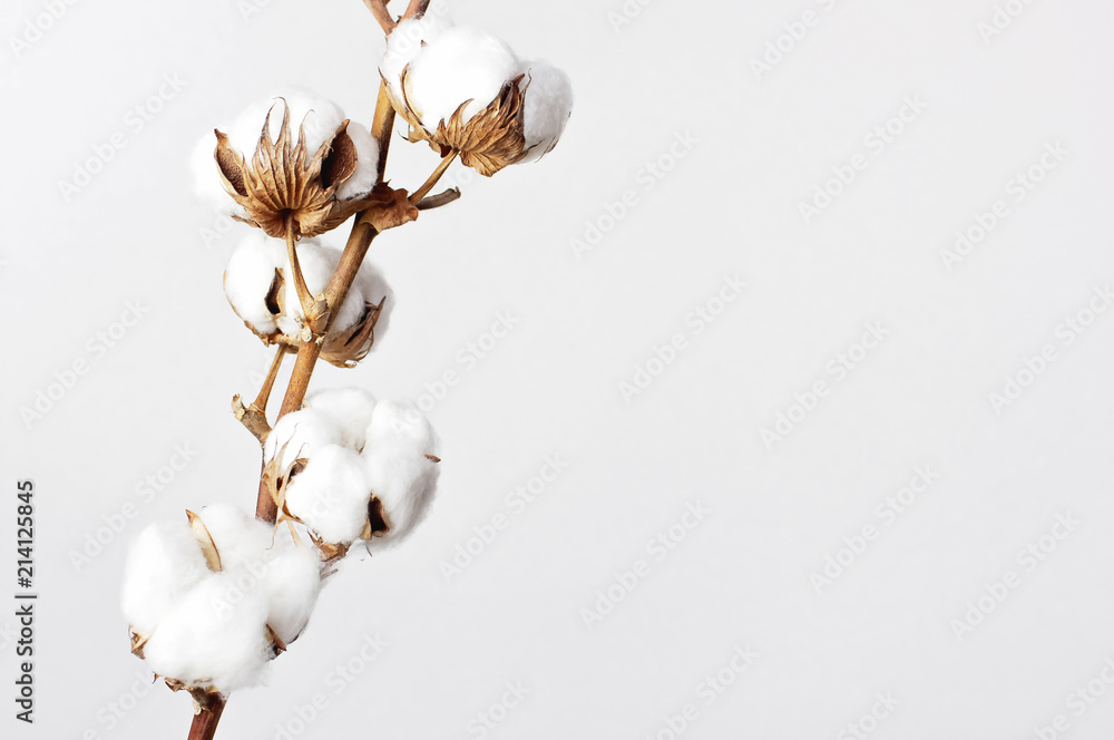Fototapety, obrazy: Cotton branch on white background. Delicate white cotton flowers. Light cotton background, flat lay.