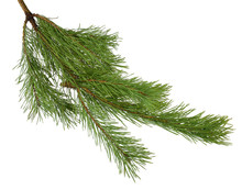 Pine Branches Isolated On White Background Without Shadow.