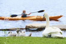 Kayaking Child Boy Watching A Swan Family Sitting On The Shore