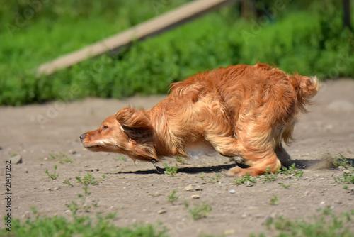 Fotografia, Obraz  red spaniel quickly runs