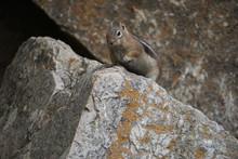 Golden Mantle Ground Squirrel,...