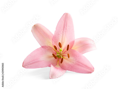 Beautiful blooming lily flower on white background