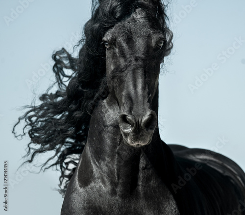 Fotografía  Black friesian horse with long mane face view closeup in movement