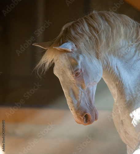 Photo  lusitano horse portrait iindoors