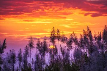 Sunset on sugar cane flowers - Reunion island