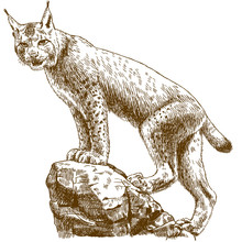 Engraving Illustration Of Lynx...