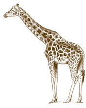 Engraving Drawing Illustration Of Giraffe