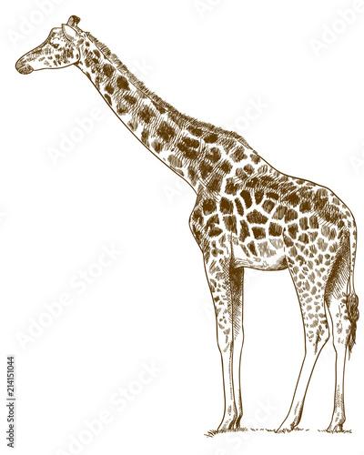 Fototapeta premium grawerowanie, rysunek, ilustracja, żyrafa