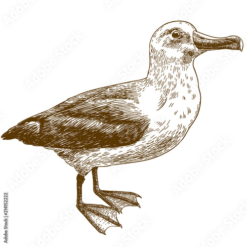 Valokuva  engraving drawing illustration of black browed albatross