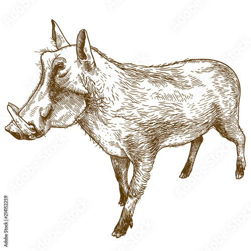 Photo  engraving drawing illustration of common warthog