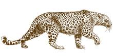 Engraving Drawing Illustration Of Leopard Parakeet