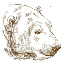 Engraving Drawing Illustration Of Polar Bear Head