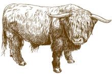 Engraving  Illustration Of Highland Cattle