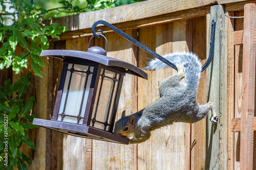 Determined Acrobatic Squirrel Stealing Seed From The Bird Feeder Fototapet