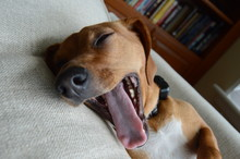 Happy Puppy Dog Yawning