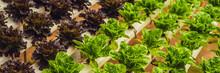 Fresh Lettuce Leaves, Close Up...