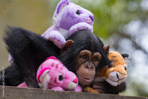 Photo Chimp Cuddle