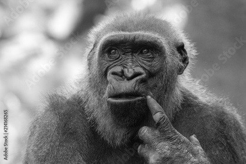 Foto op Aluminium Aap Thoughtful Gorilla