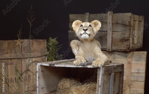 Fotografie, Obraz  Lion cub on wooden crate