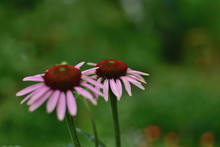 Close-up Flowers Echinacea Pur...
