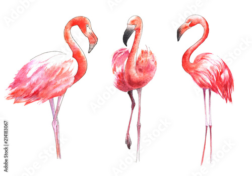 Garden Poster Flamingo Watercolor painted bird. The greater flamingo in color.