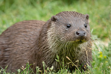 A Very Close Up Low Level Portrait Of An Otter Staring Slightly Right Of The Camera With Eyes Wide Open And A Plain Grass Background