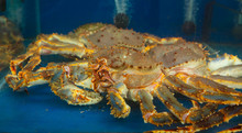 Close Up Of Alaskan King Crab