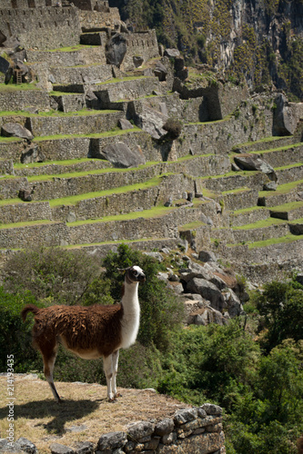 Spoed Foto op Canvas Lama Peru Travel Llama at Machu Pichu