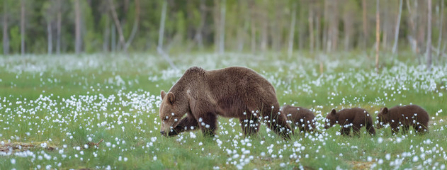 Mother bear and her three cubs walking on the middle of the cotton grass in a Finnish bog. Sized to fit for cover image on popular social media site