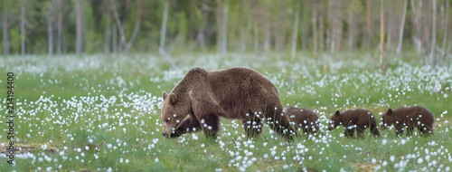Photographie Mother bear and her three cubs walking on the middle of the cotton grass in a Finnish bog