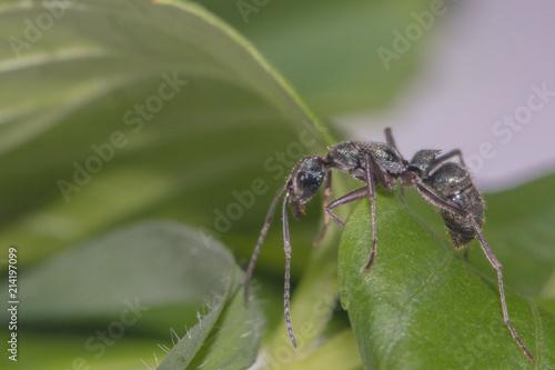 Plakat Czarna mrówka wewnątrz odizolowywa tło