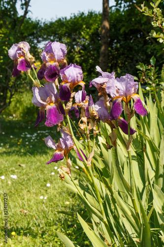 Spoed Foto op Canvas Iris Fleurs d'iris violettes