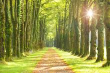 Baumallee Mit Fußweg Und Sonnenstrahlen