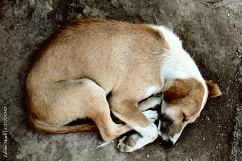 Stray dog on pavement, top view Canvas Print