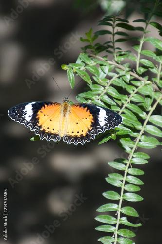 Fotografie, Obraz  Siem Reap Cambodia, leopard lacewing butterfly in garden