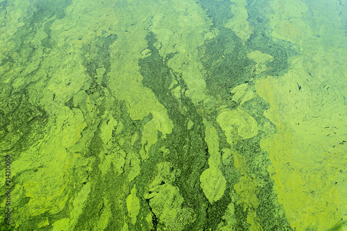 green algae on the surface of the water Wallpaper Mural